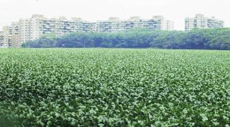 Civic body's latest worry: Growth of water hyacinth