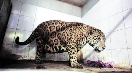 Delhi zoo to return jaguar from Kerala that is 'too fat to breed'