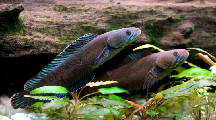"Vibrant blue dwarf ""walking"" snakehead fish discovered in West Bengal/ WWF Report"