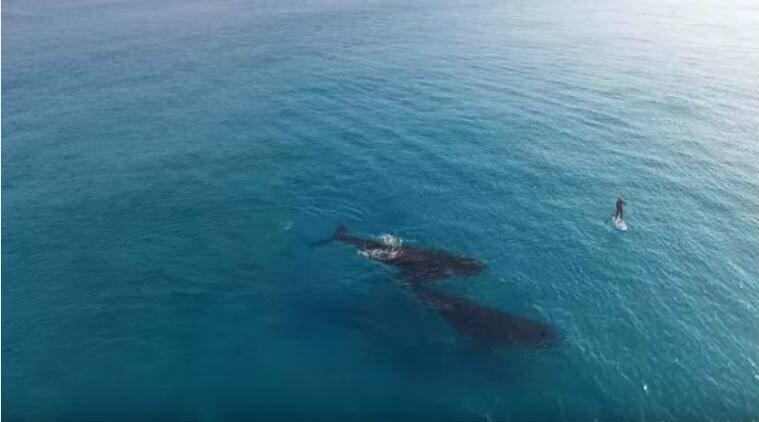Whales swimming alongside paddle boarder
