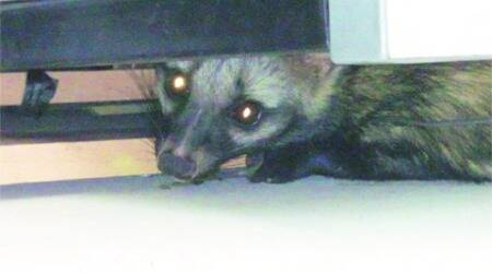 Asian palm civet rescued from IGNOU campus