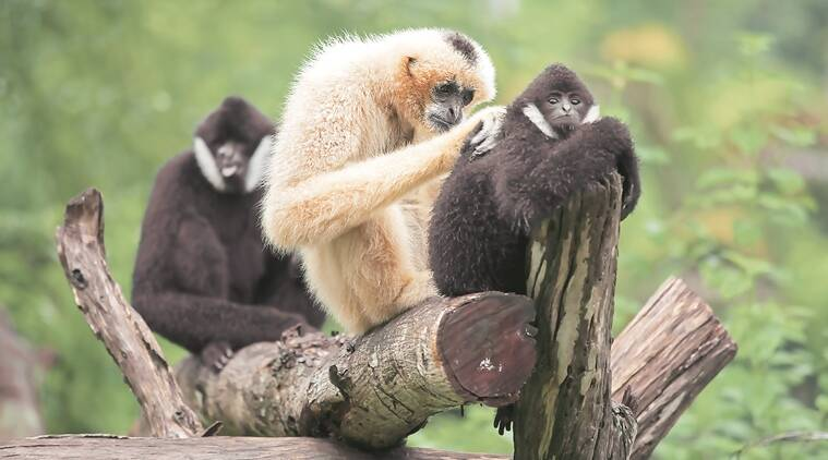 The only apes in India, Hoolock Gibbons are completely arboreal, monogamous and rarely venture out of the highest canopy of trees. (Source: Thinkstock)