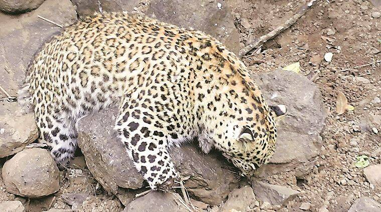 pune, pune leopard, pune leopard poisoned, pune forest officials, pune man animal conflict, pune latest news