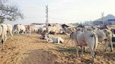 Amid 'strict VHP vigil', cow sales at Pushkar down 94 per cent