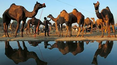 An Indian camel herder tends to his camels early morning at the annual cattle fair in Pushkar, in the western Indian state of Rajasthan, Friday, Nov. 20, 2015. Pushkar is a popular Hindu pilgrimage spot that is also frequented by foreign tourists who come to the town for its annual cattle fair. (AP Photo/Deepak Sharma)