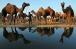 Stunning photos from the Pushkar Camel Mela