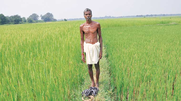 A farmer in his paddy field. (Express Photo by: Kameswar Rao)