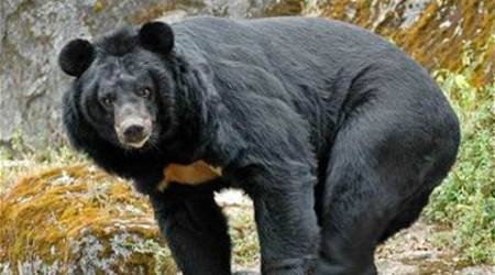 Bear in Indore zoo euthanised