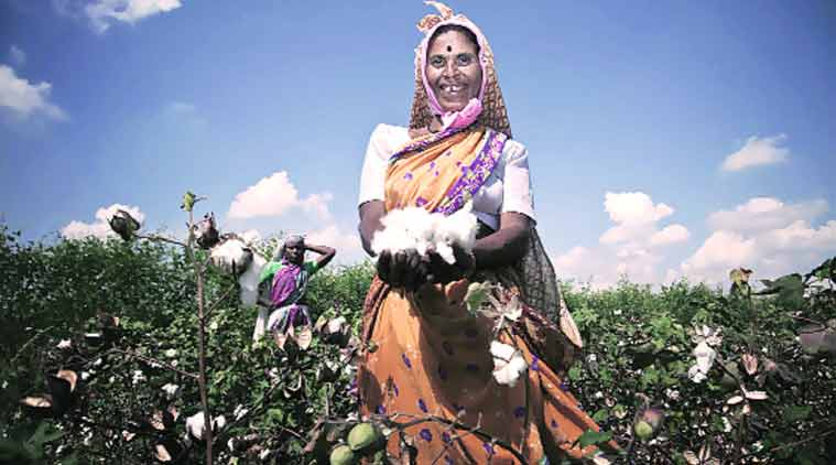 A farm labourer showing her picked cotton.