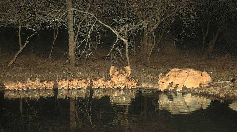 Cubs and lionesses drink water from an artificial water point, a photo clicked in 1997-98 after months of patience.