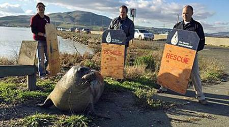 Elephant seal repeatedly tries to cross California highway, slows traffic