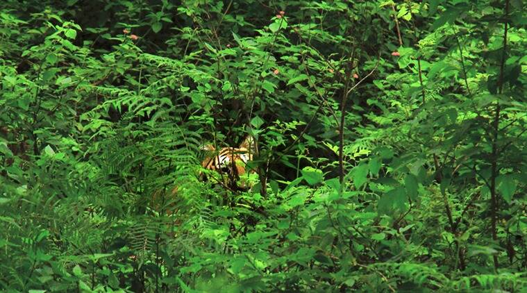 A flash of tiger stripes at the BR Swamy Temple Wildlife Sanctuary. (Source: Neelima Vallangi)