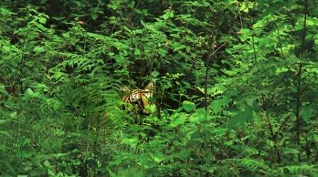 Tiger sighting: An encounter in the woods