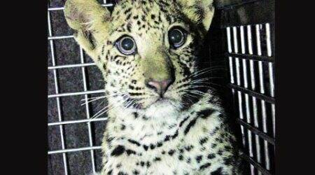 Leopard cub rescued from snare placed along Delhi-Gurgaon border