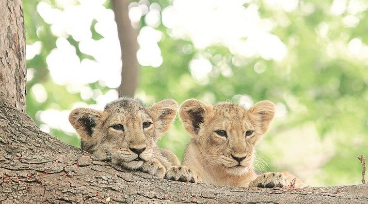 Lion cubs rest on the root of a tamarind tree in Bhandargala, shot in the summer of 2011-12.