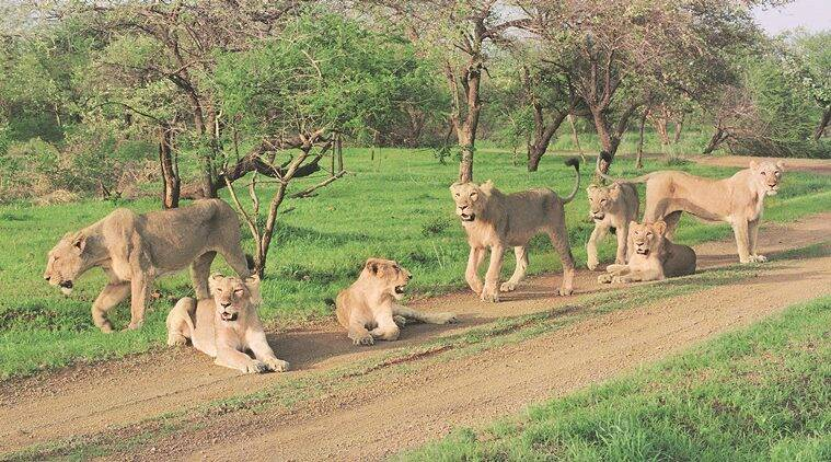 Pride of Asiatic lions inside Devaliya Safari Park. The pride had started raiding nearby villages and preying on cattle and was shifted to the safari park for some time in 1996-97