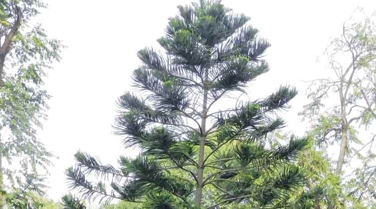 Christmas Trees In India Part - 40: Christmas Tree, Christmas, Cook Pine, Pine Trees, Cook Pine Tree