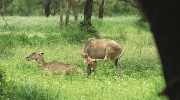 Even though there are herds of neelgai, sambar and cheetal, tourists usually come with the aim of seeing a tiger or a leopard. (Source: Indian Express)