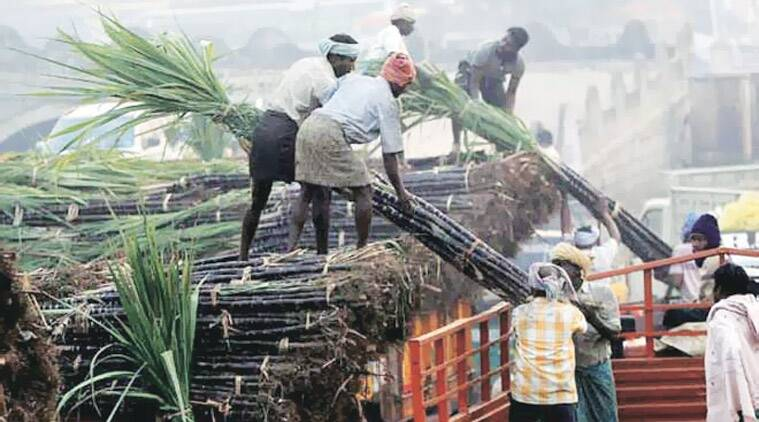 Cane arrears for the current season has touched Rs 2,000 crores with majority of the mills yet to start payment. (Express photo)