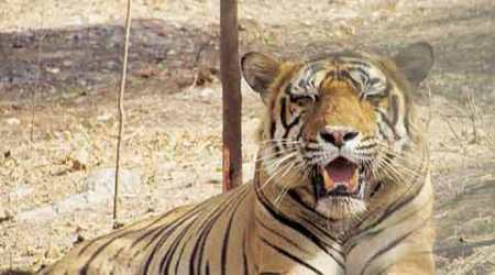T-24 in captivity: Rajasthan HC to hear fresh petition today on tiger Ustad's relocation to the wild