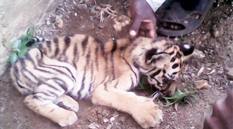 woman kille,d murder, crime, tiger attack, woman killed in tiger attack, mumbai news
