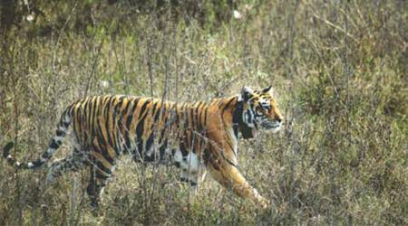 Madhya Pradesh: Dogs get shots to save Panna tigers