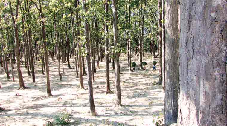 Open Forest in Ramnagar Forest Division, Uttarakhand. (Express Photo by: Jay Mazoomdaar)