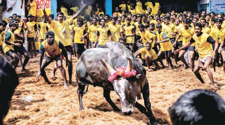 The southern districts of Madurai, Tiruchirappalli, Theni, Pudukkottai and Dindigul are Tamil Nadu's main Jallikattu belt, where bulls are bred for the sport. (Express Photo by: Jyothy Karat)