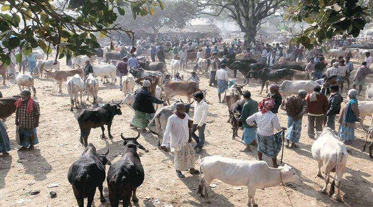 cattle smuggling, BSF, india, bangladesh, india-bangladesh border, cow smuggling, bull smuggling, sunday story, sunday story cattle smuggling