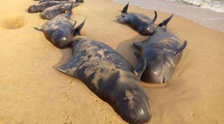 Video: 38 dead baleen whales wash ashore in Tamil Nadu