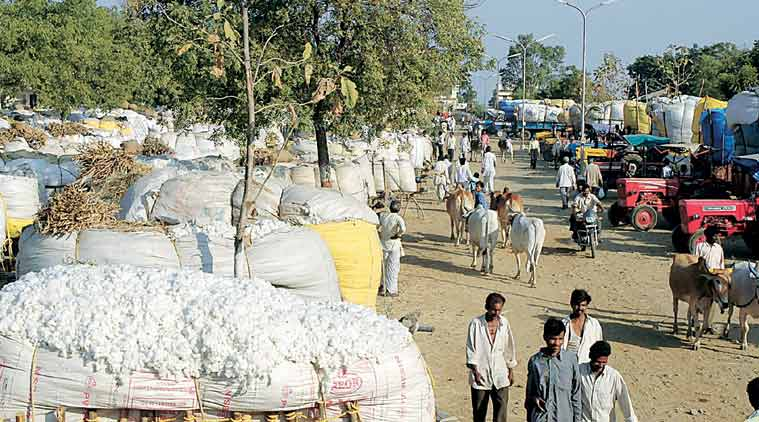 Farmers waiting with their produce at a cotton market in India. Growers of the crop across Gujarat are realising an increase in average price since December. (Express Photo)