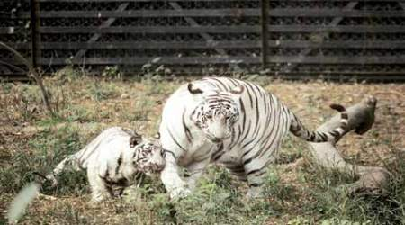 Delhi Zoo's white tiger, who mauled man to death, fathers 5cubs