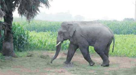 stray elephant, stray elephant purnea, stray elephant on airstrip, air force base, india news