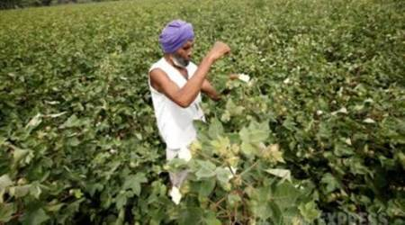 Pea crop failure: Punjab farmers claim many excluded from govt's compensation list
