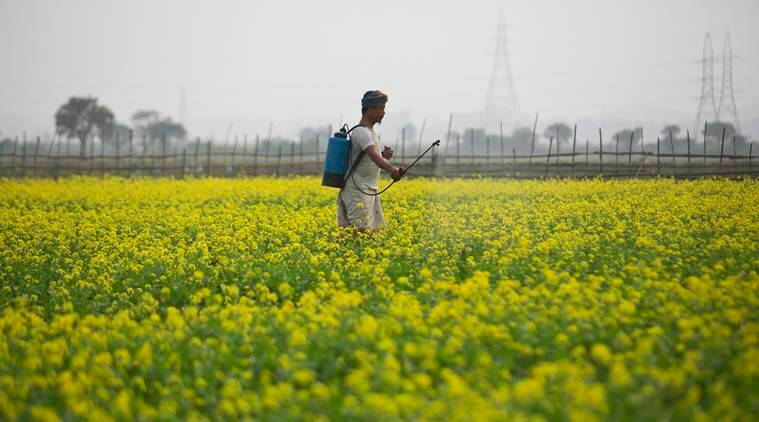 An Indian farmer sprays pesticide on his mustard crop in Mayong village, outskirts of Gauhati, India, Monday, Dec. 14, 2015. Agriculture is the main livelihood of about 60 percent of India's 1.2 billion people.(AP Photo/ Anupam Nath)
