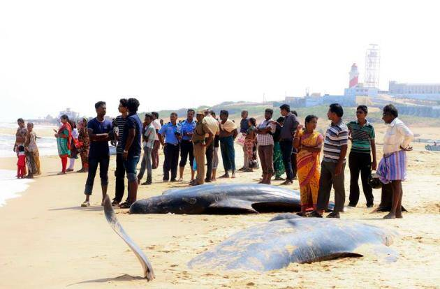 whales, whales tamil Nadu, dead whales India, Dead whales tamil nadu, Dead Whale photos, Whale Photos, tamil nadu, india, india whales, whale bodies, whales in tamil nadu, tamil nadu whales, whales in india, india news