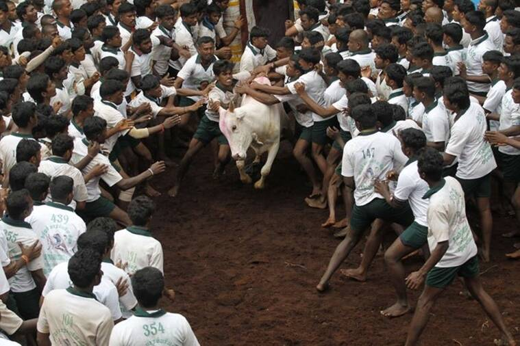 Tamil Nadu, Jallikattu, Jallikattu in Tamil Nadu, bull taming sports tamil nadu animal husbandry, latest news, india news