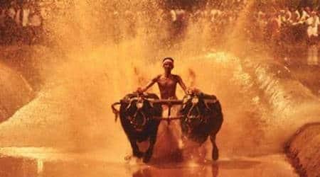 After ban on Jallikattu, AWBI pushes for ban on Kambala races inKarnataka