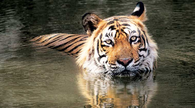 CAN'T FATHOM THOSE EYES: T-24 in all its glory in Ranthambhore. (Express Photo by: Dharm Khandal)