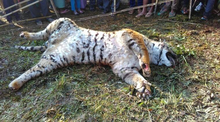 orang national park, tigress killed in orang national park, pregnent tigress killed in orang national park, tigress poisoned, tigress killed, save tigers