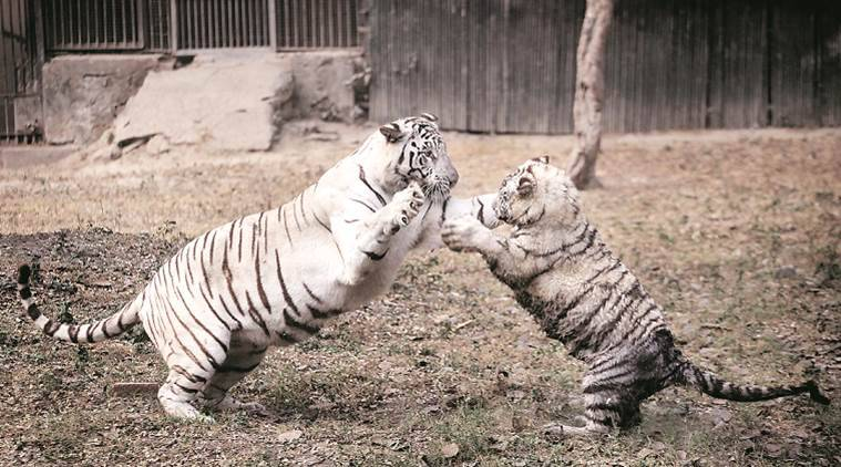 Kalpana (name of the tigress) plays with one of her four cubs at National Zoological Park Delhi on Thursday. Kalpana gave birth to four tiger cubs with Vijay (the tiger who last year mauled a 20 year old man) under the breeding programme. Express photo by Oinam Anand. 14 January 2016