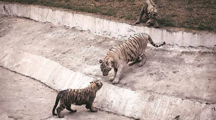 Kalpana (name of the tigress) with two of her four cubs at National Zoological Park Delhi on Thursday. Kalpana gave birth to four tiger cubs with Vijay (the tiger who last year mauled a 20 year old man) under the breeding programme. Express photo by Oinam Anand. 14 January 2016