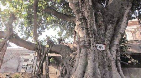 Banyan tree on PGI campus over 200 years old: Census