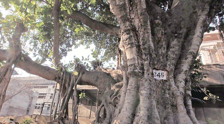banyan tree, PGI banyan tree, census report, PGIMER, oldest banyan tree