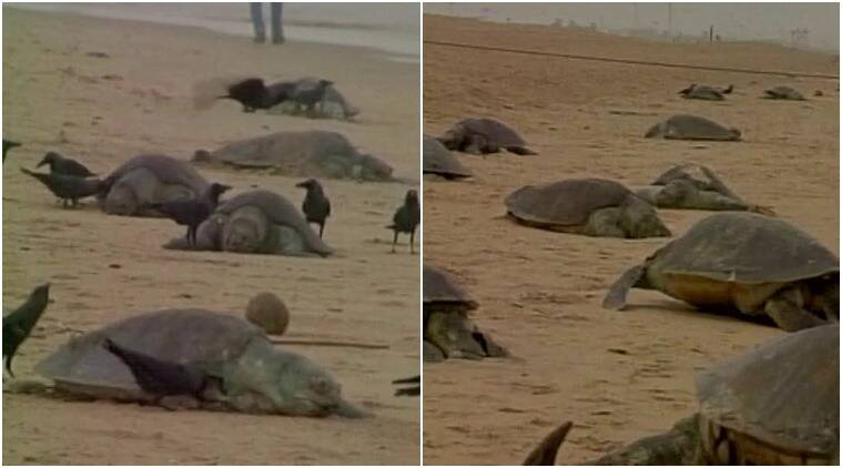 turtles, dead turtles, turtles in puri, dead turtles in puri, puri, puri each, puri turtles, puri news, india waters, india sea animals, india news