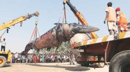 Dead whale washes ashore at Juhu beach