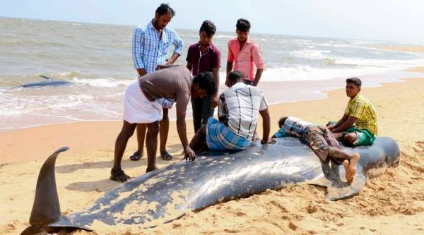 People look at one among the dozens of whales that have washed ashore on the Bay of Bengal coast's Manapad beach in Tuticorin district, Tamil Nadu state, India, Tuesday, Jan.12, 2016. (Source: AP)