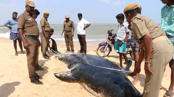 Indian wildlife officials measure one among the dozens of whales that have washed ashore on the Bay of Bengal coast's Manapad beach in Tuticorin district, Tamil Nadu. (Source: AP)