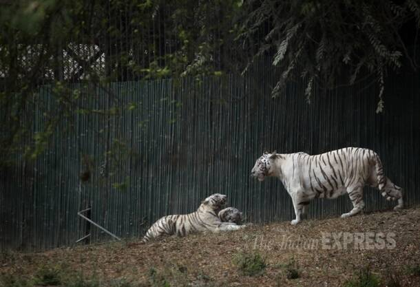 White Tiger, Bengal White Tiger, delhi Zoo, National Zoological Park, Royal Bengal White Tiger, White Tiger Pics, White Tiger Photos