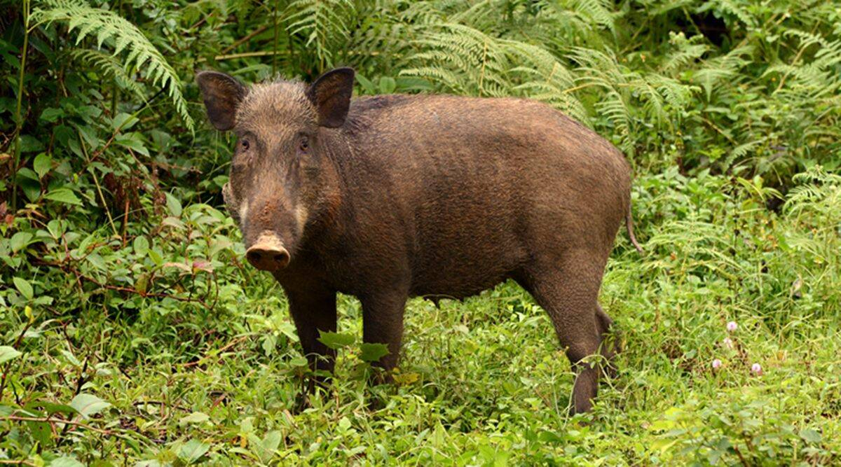 wild boars, wild boars killed, chnadrapur forest administration, killing wild boars, wildlife, maharshtra news, Mumbai news